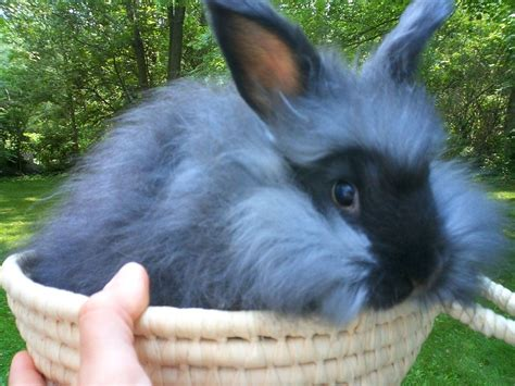 buy a house rabbit looking for humane angora it exists huffpost
