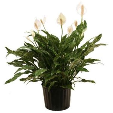 delray plants cateracterum palm in 9 1 4 in pot 10cat delray plants spathiphyllum domino in 9 1 4 in pot