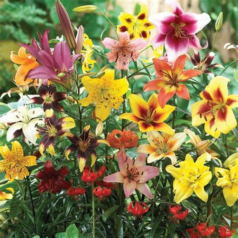 summer lily mix  van bourgondien