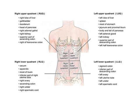abdomen diagram abdominal quadrants diagram anatomy organ