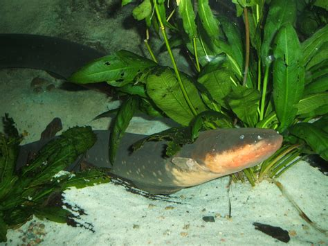 electric eel electric eel