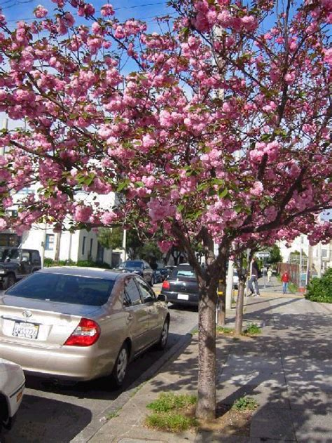 flowering cherry friends of the urban forest