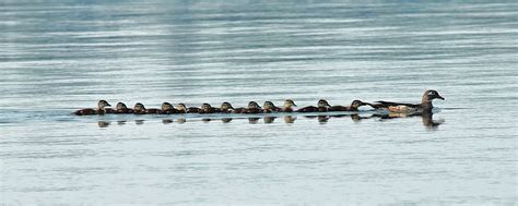 ducklings following mother