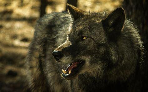imagenes de lobos en 4k wolf wallpaper a15 hd desktop wallpapers 4k hd