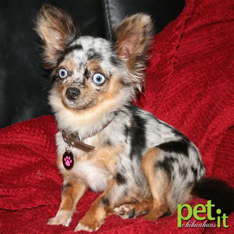 merle chihuahua puppies merle chihuahuas information and health pet it apparel