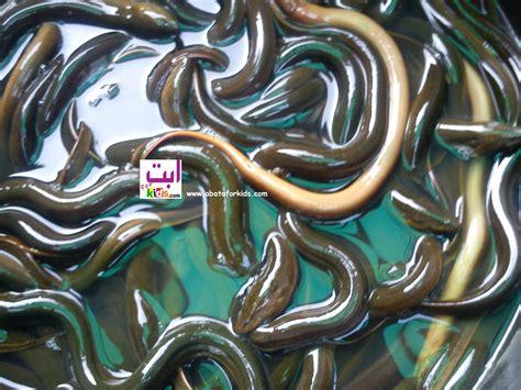 Jual Bibit Ikan Arwana Medan jual benih belut benih ikan