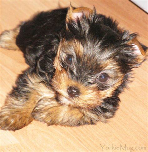 yorkie hair color yorkie colors terrier coat colors yorkiemag