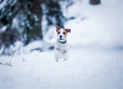 hypothermia in dogs low temperature in dogs petmd
