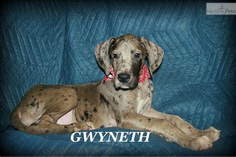 great dane puppies houston gwyneth great dane puppy for sale near houston 43b9413f b4d1