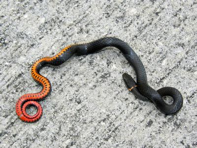 black snake with orange ring around neck ring necked snake
