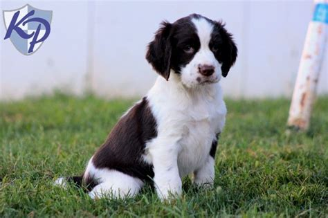 springer spaniel puppies for sale in pa 17 best ideas about spaniel puppies for sale on cocker spaniel for sale