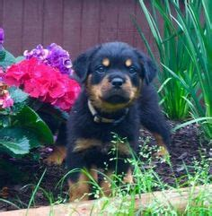 rottweiler puppies south carolina 1000 images about rottweiler breeders on rottweiler puppies for sale