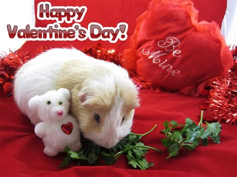 valentines pig undercover guinea pigs happy s day