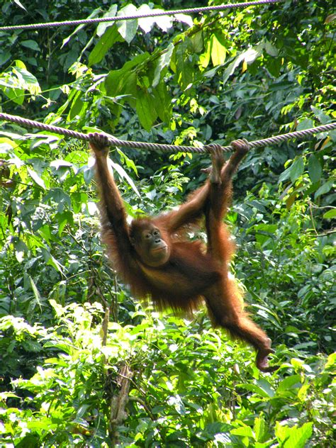 monkeys swinging in a tree monkey business borneo and a day with the orangutans