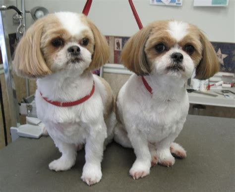 pictures of shih tzu haircuts dadatogo shih tzu haircuts hairstyles ideas