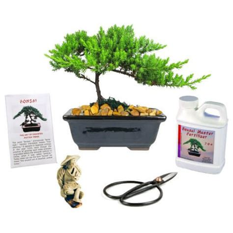japanese present wrapping eve s garden small japanese juniper bonsai tree gift kit