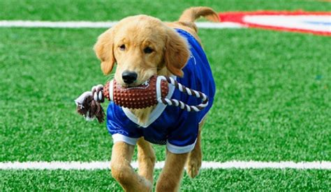 puppy football 11 reasons dogs are loving football season