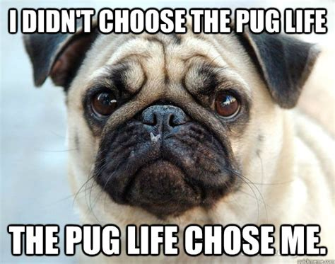 i didn t choose the pug i didn t choose the pug the pug chose me misc quickmeme