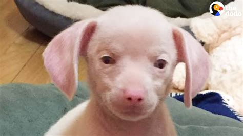 deaf pug blind deaf pink puppy rescued from hoarding situation the dodo pug