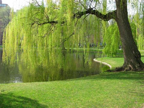 film up significato weeping willow wallpapers wallpaper cave