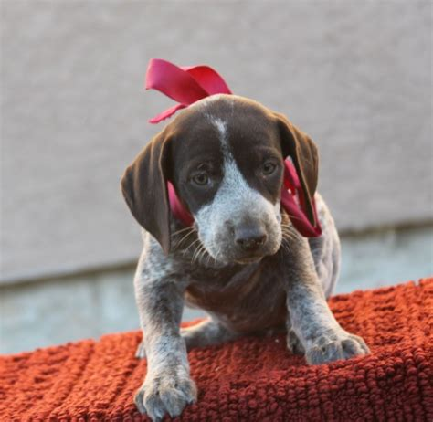 gun dogs for sale best gun dogs german shorthaired pointer puppies and started dogs for sale