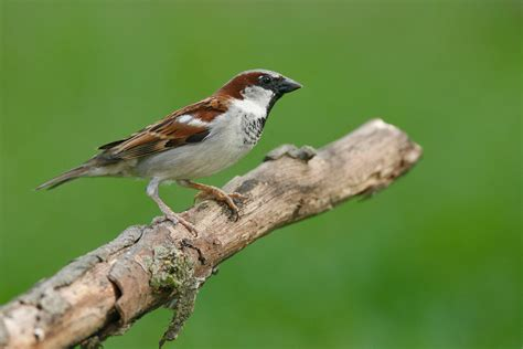 english house sparrow house sparrow audubon field guide