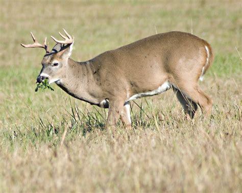 Deer Vs the socal bowhunter whitetail deer vs blacktail deer