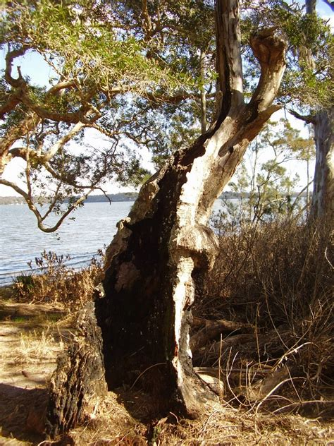 Buff Hollow panoramio photo of hollow tree at buff point