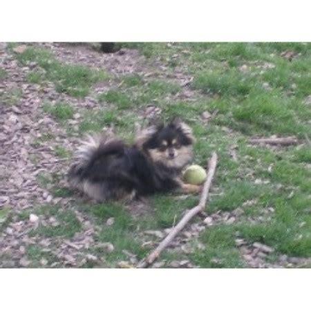 pomeranian puppies for sale in scotia tiny fur baby pomeranian breeder in menifee california listing id 19296