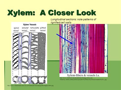 longitudinal section of xylem tissue ta info francis frank iosue ppt download
