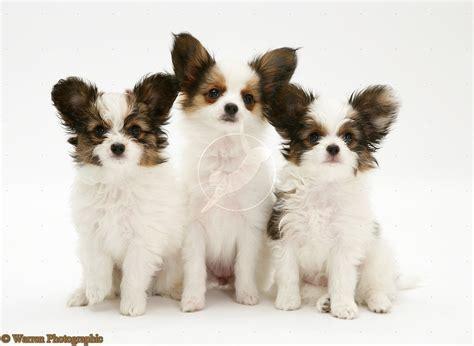 papillion puppy puppy dogs papillon puppies