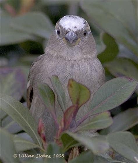 stokes birding blog white headed junco speckled robin