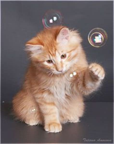 bobble kitten 1000 images about cats on