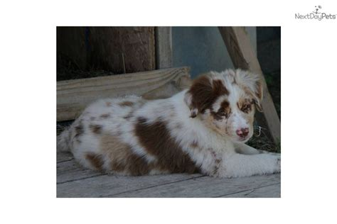 mini australian shepherd puppies for sale in pa australian shepherd mix miniature puppies for sale in pa breeds picture