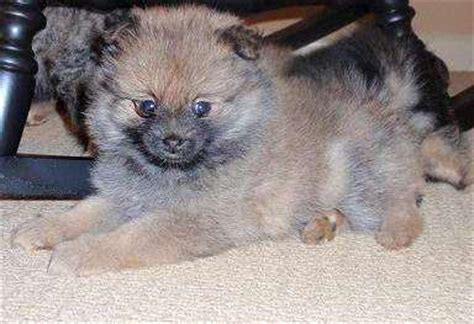 puppies for sale in macon ga pomeranian for sale in hartwell skipper breeds picture