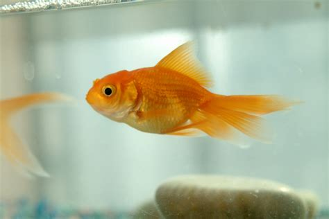 how many times do you feed a what time do you feed your new goldfish