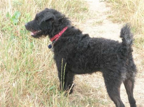 The Patterdale Terrier patterdale terrier breed guide learn about the