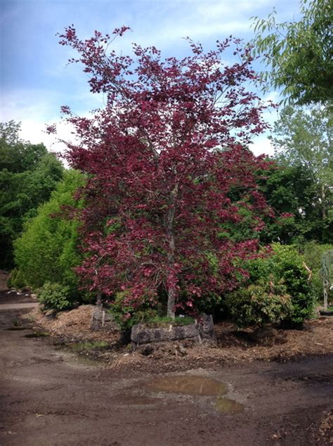 tri color beech tree problems pin tri color beech tree on