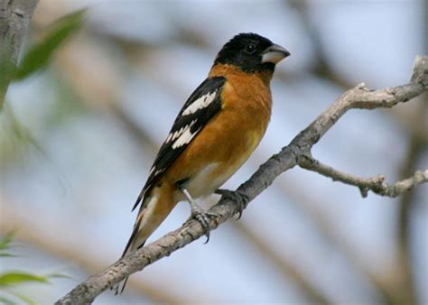 black headed grosbeak pheyticus melanocephalus