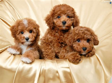 havanese puppies for sale in sacramento brown bichon frise