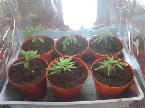 Fish Used To Detox Thc by Best 25 Growing Marijuana Indoor Ideas On