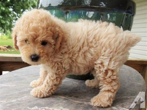 lifespan of mini poodle miniature poodle illinois photo