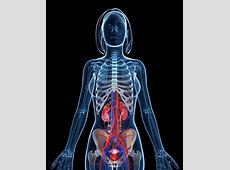 Female Skeleton Urinary System With Open Kidneys Stock ... Female Urinary System Anatomy