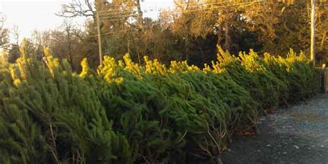 christmas trees for sale hopetoun