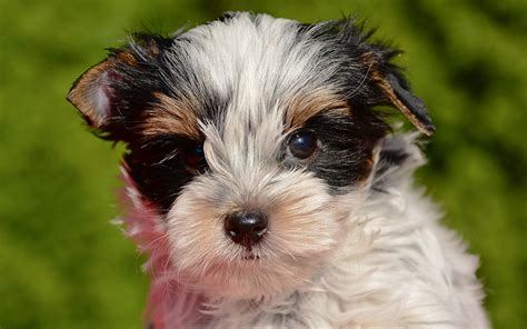 how to become a yorkie breeder biewer yorkie puppies breed information puppies for sale