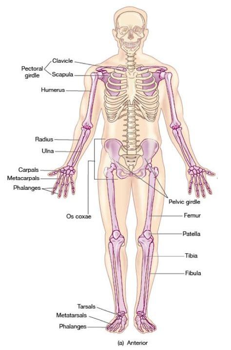 appendicular skeleton diagram appendicular skeleton diagram appendicular skeleton