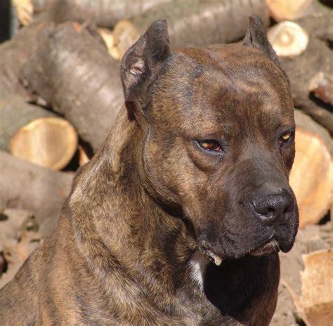 golden retriever en español alano espa 241 ol sociedad canina costa sol