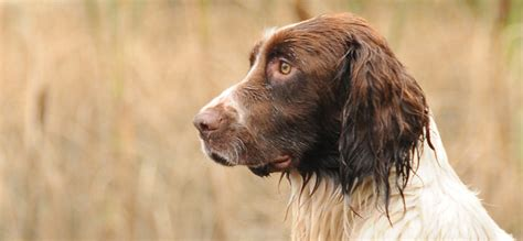 red setter gun dog corrib gun dogs ireland