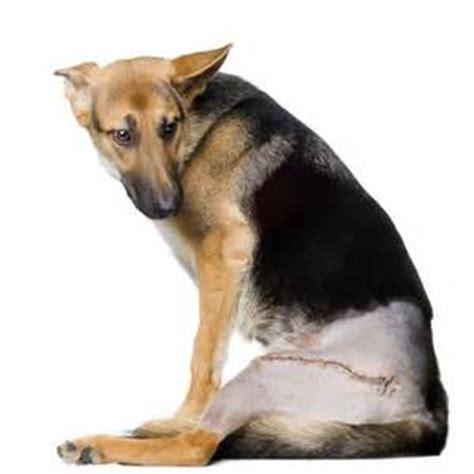 arthritis in dogs arthritis in dogs dogluxurybeds