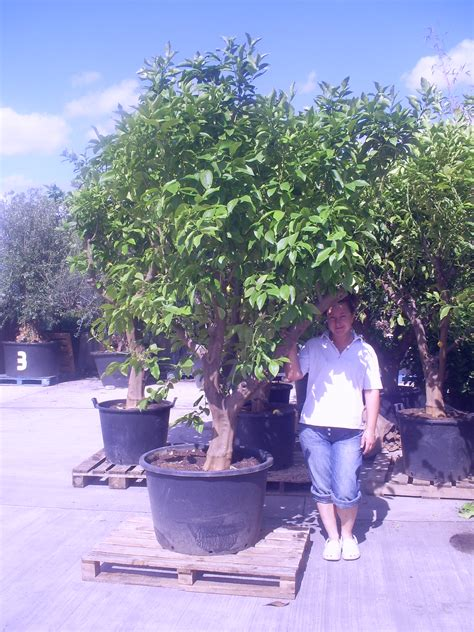 Tree Planters Uk by Lemon Tree 10 Plus High Including Height Of Pot 163 475